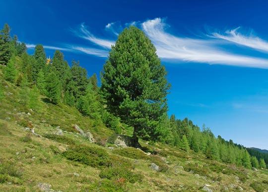 Il pino cembro austriaco: il re delle Alpi